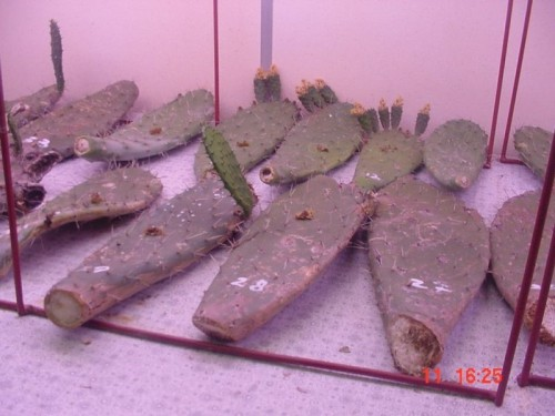 Cladodes of O.ficus indica with frass mounds are containing actively feeding larvae of C. cactorum