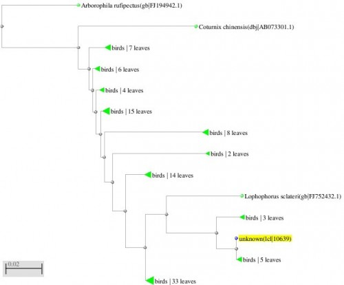 Phylogenetic tree resulting from the Maximum likelihood analysis of CO1 gene sequence, Parsimony bootstrap 50% majority-rule consensus values were given above the branches and branch length were presented below the branches. Scale bar presented 5 changes per 100 characters. (Sequences of pheasants from Northern Pakistan)