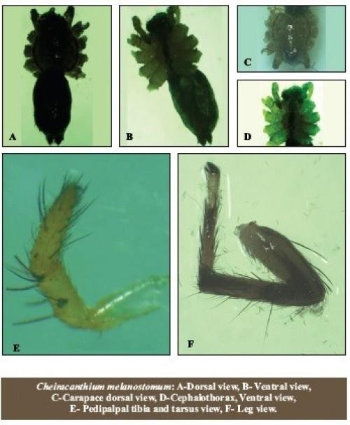 Cheiracanthium melanostomum